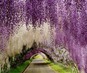 Terowong Bunga Wisteria Di Jepun Memukau Pengunjung